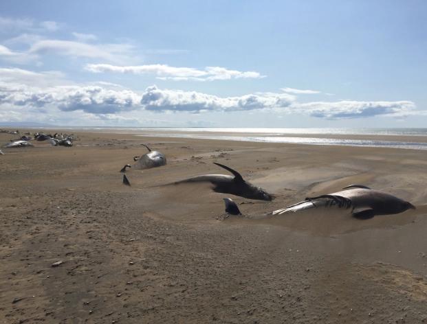 冰岛海滩现50具鲸鱼尸体 游客拍下凄惨一幕